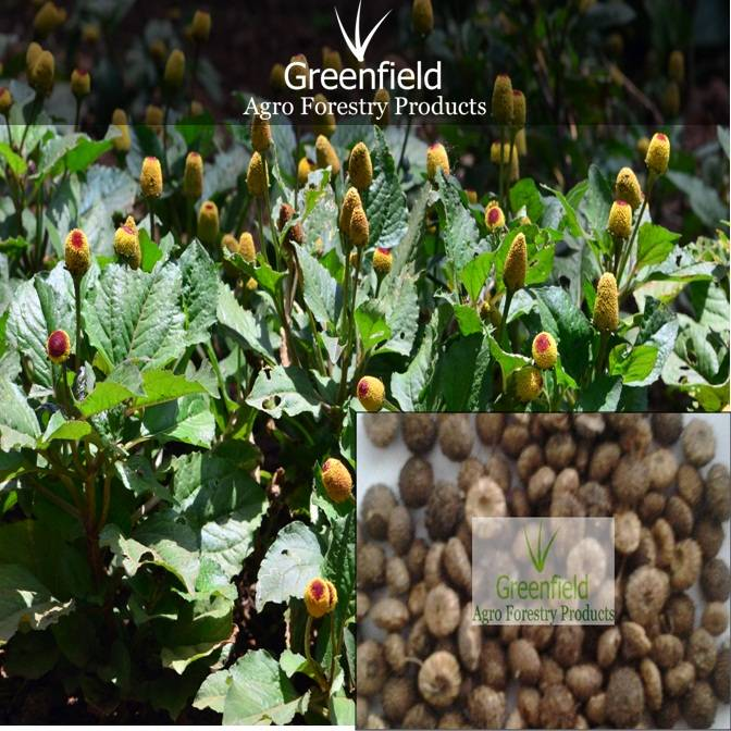 Akarkara Medicinal seeds ( Spilanthes acmella )