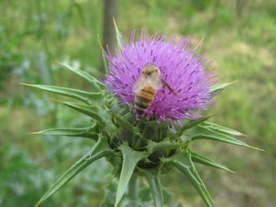 Best Quality Milk Thistle Extract Silymarin Powder or Capsule
