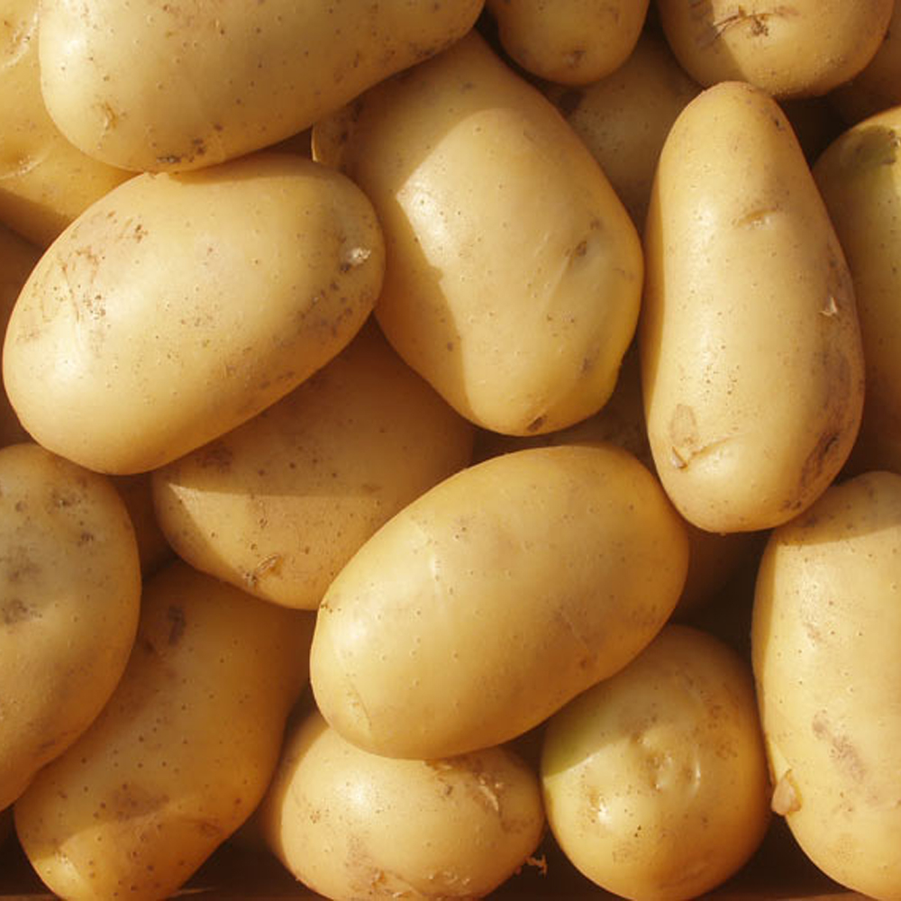 fresh holland potatoes from china with low price