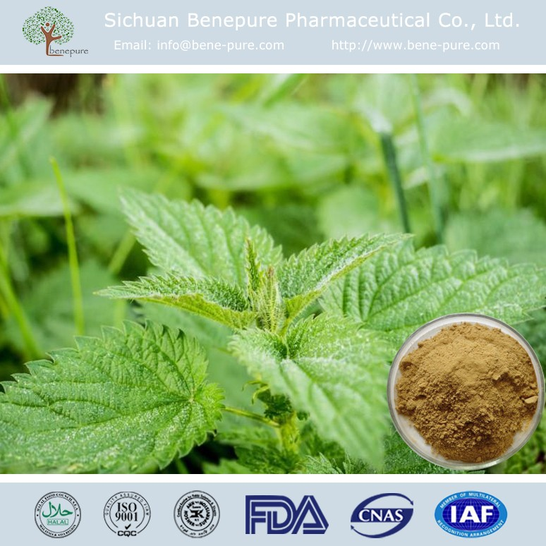 Nettle Extract Powder CAS 83-46-5 Urtica Dioica from Urtica Cannabinaa L. BENEPURE
