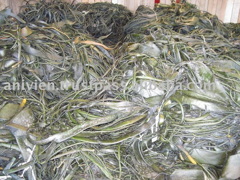 Seaweeds Gelidium from Chile