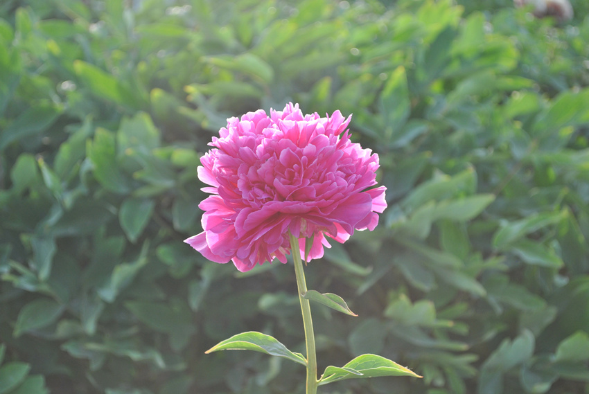 Herbaceous Peony Root