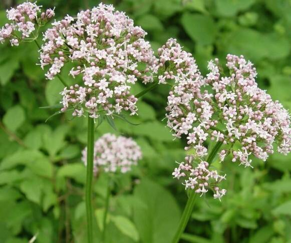 supply best quality Valerian Extract