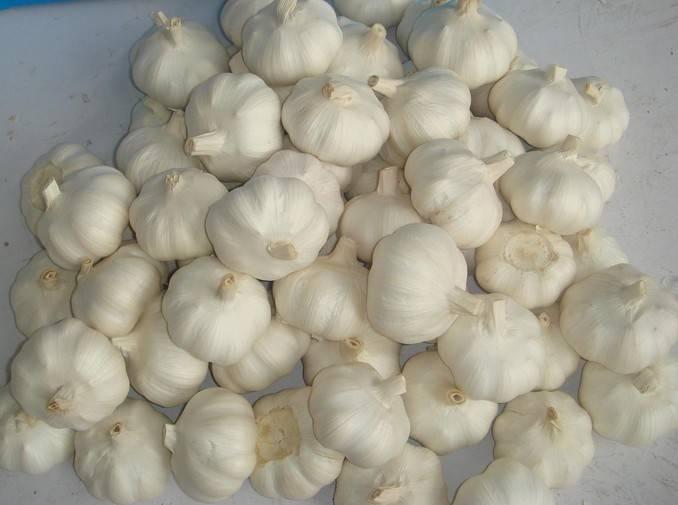 fresh garlic