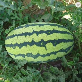 Oval shape bright red flesh striped skin watermelon seed