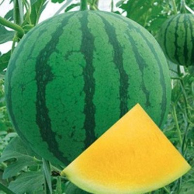 Golden Orchid chinese yellow flesh seedless watermelon seeds
