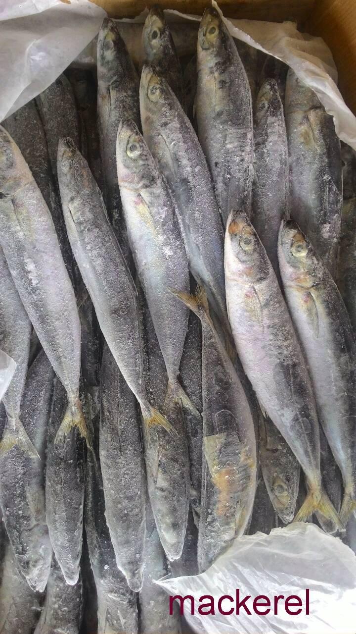 Ikan Layang/ Mackerel