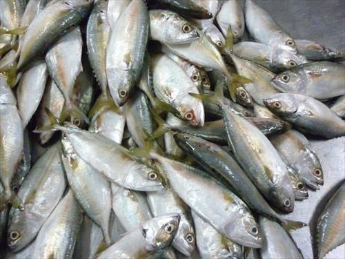 Short body mackerel