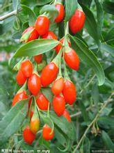 anti-aging ingredients,Wolfberry(Goji Berry) Extract, Avena Sativa Extract, Chinese Ivy stem  Extrac