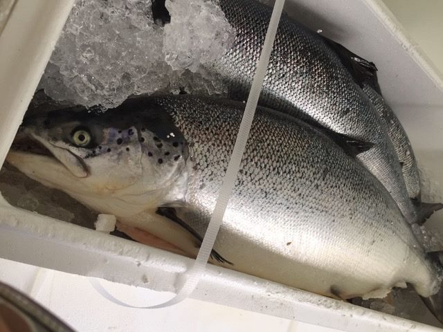 Fresh and Frozen Salmon/Salmon Fish Fillets