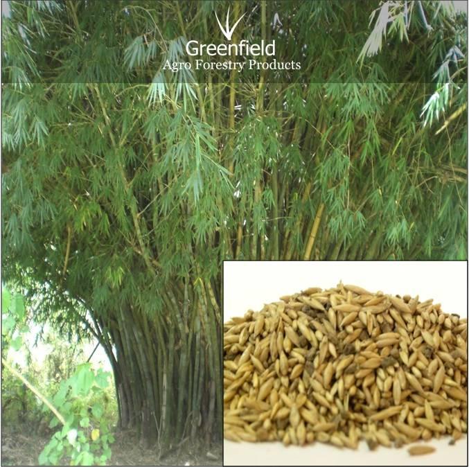 Katanga Bamboo Forestry Tree Seeds ( Bambusa arundinacea )