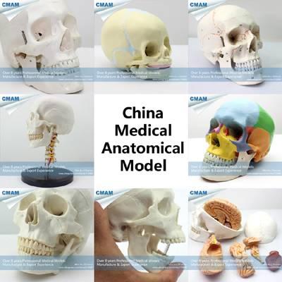 wholesale medical anatomy human skull model