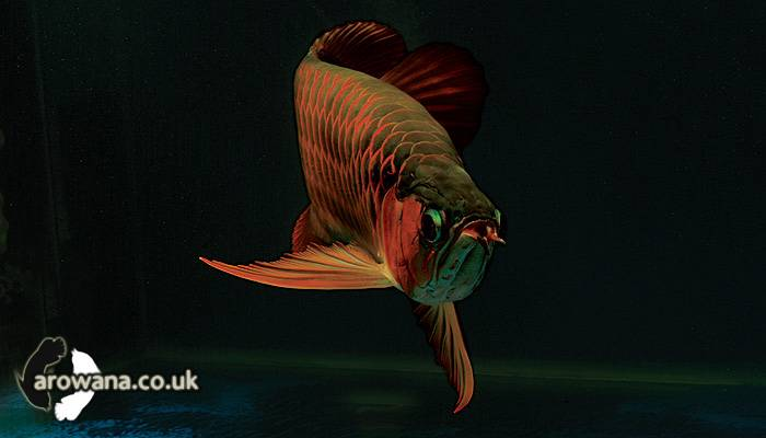 Super red arowana for sale