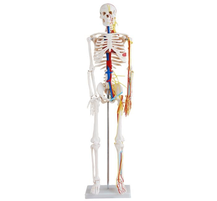 Human Skeleton with Heart and Blood Vessels