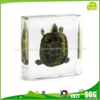 Real Tortoise Real Animal Specimens for Education
