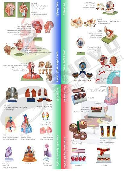 Human System Anatomical Model - Eye & Head