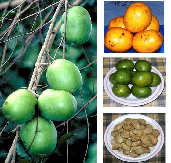 Irvingia gabonensis Seed Extract, African Wild Mango Seeds Extract