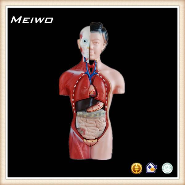 42cm female torso model torso anatomy model