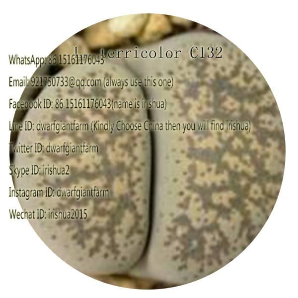 50pcs a set L. terricolor C132 seed 25usd