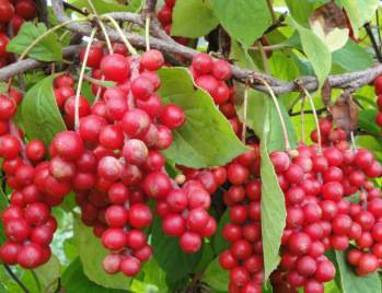Schisandra Berries Extract