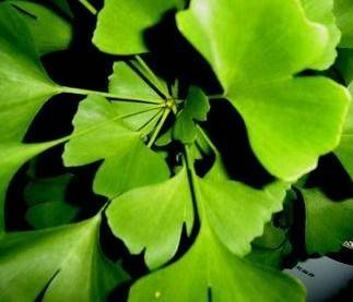 water soluble Ginkgo Biloba Extract