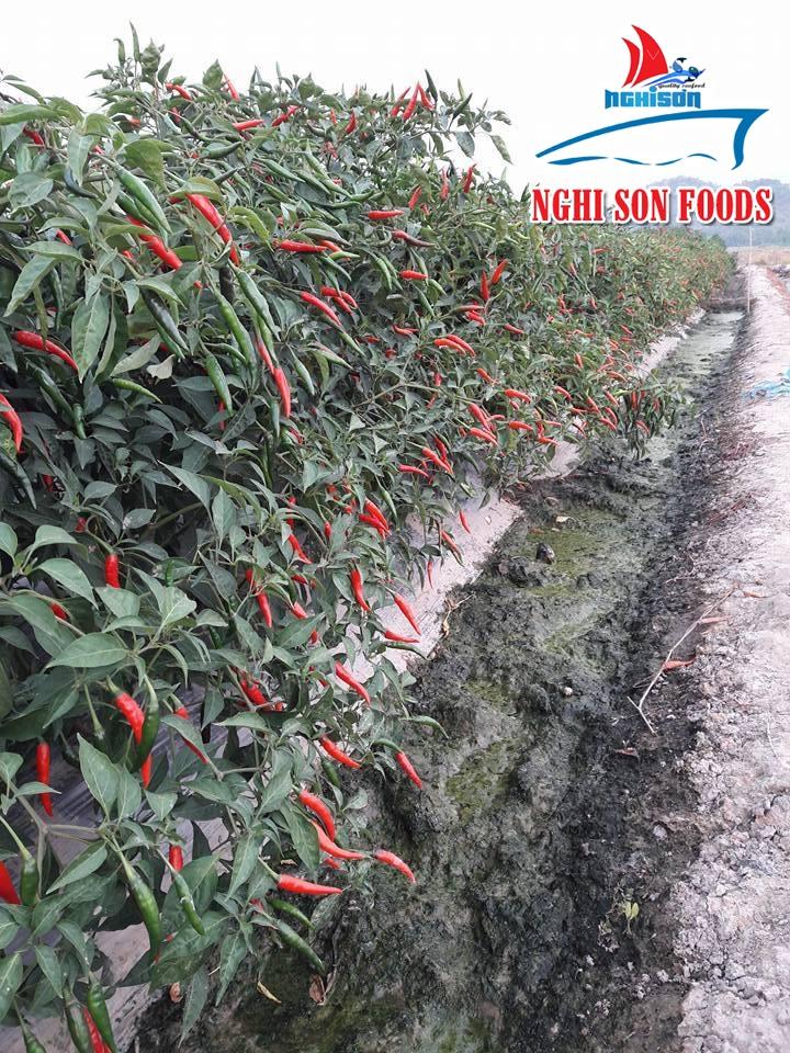 Vietnam Chilli