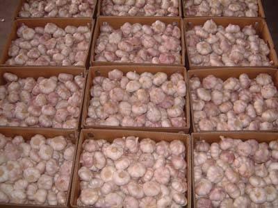 White fresh garlic 2011