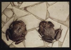 Tricobatracus (Hairy Frog)