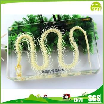 Animal Anatomical Model No Poisonous Snake Skeleton Specimen for School Teaching Supplies