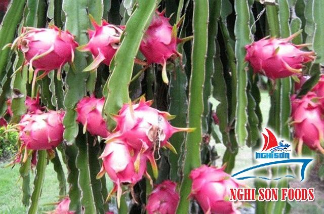 Dragon Fruit From Vietnam