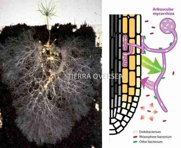 Vesicular Arbusclar Mycorrhiza