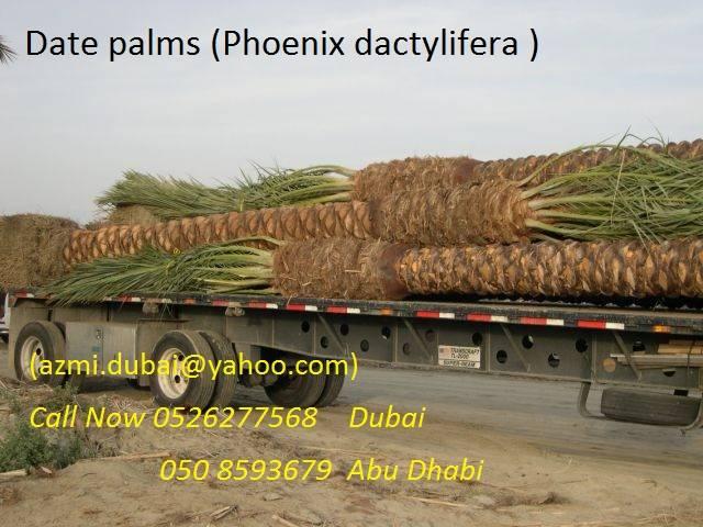 Phoenix dactylifera (date palm)