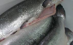 FROZEN SALMON FISH