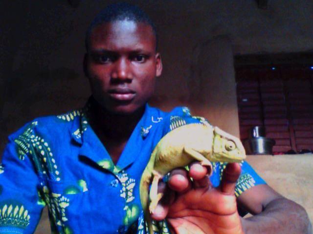 Live Chamaeleo from Benin
