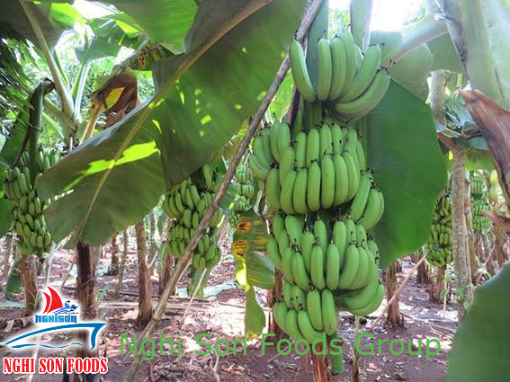 Fresh Cavendish Banana (0084 905179759)