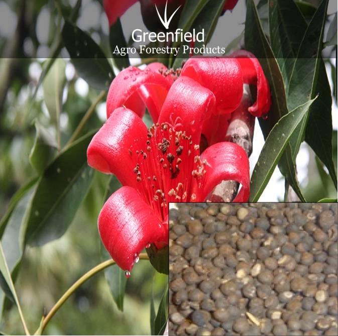 Semal Musli forrestry tree Seeds ( Bombax Mulabaricum )