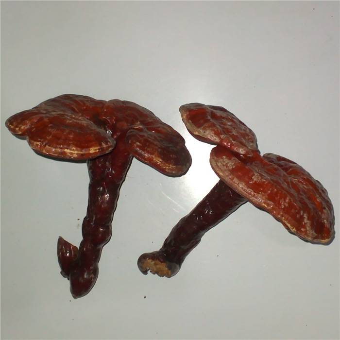 Pure natural  low pesticide residues reishi extract