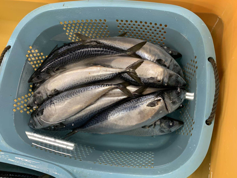 Frozen fish Pacific mackerel 250g,350g on sale