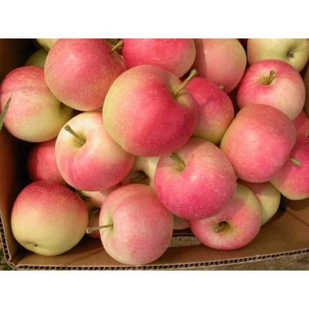 Fresh Apple Gala Apple