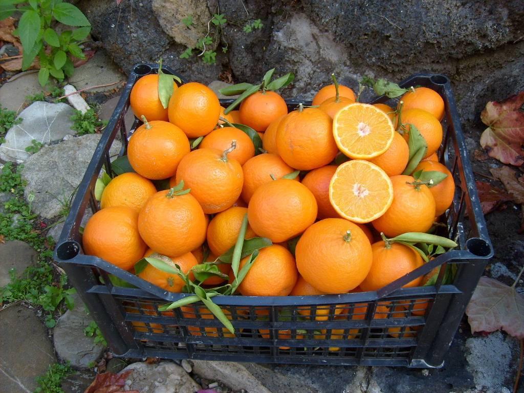 Fresh mandarine  & sastuma