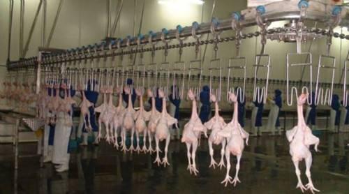 chicken duck goose slaughterhouse abattoir slaughter machines