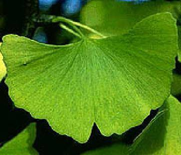 the bigggest producer of Ginkgo Biloba Extract in China
