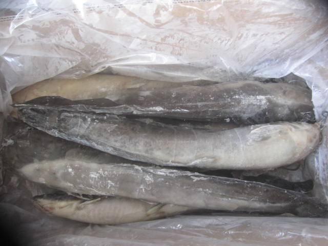 Frozen Catfish Whole Round