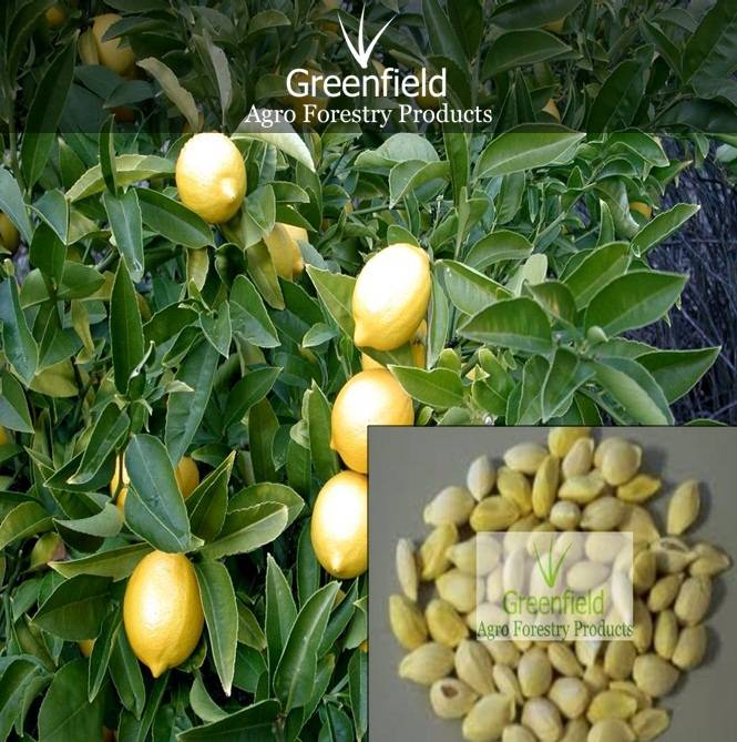 Lemon Fruits Tree seeds ( Citrus )