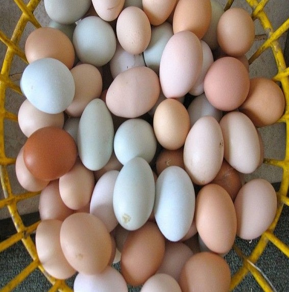 African Grey Parrot eggs for sale from Thailand