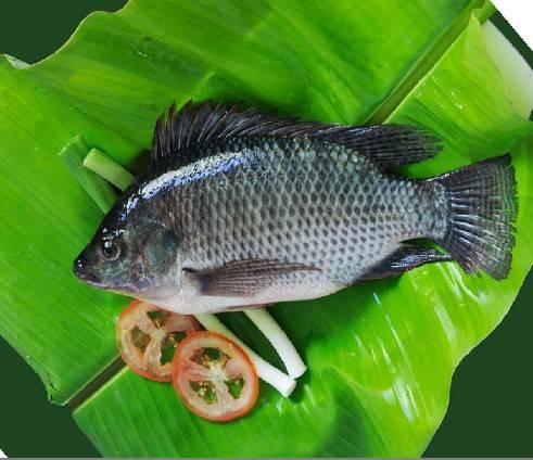Frozen Tilapia Fish Whole Round