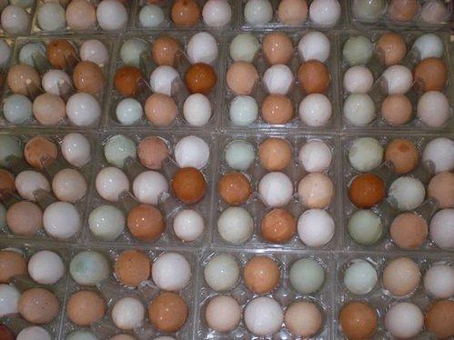 Parrot fertile candle lit eggs 100% hatching
