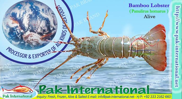 LIVE BAMBOO LOBSTER