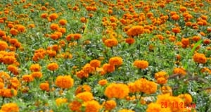 Marigold meal and oleoresin