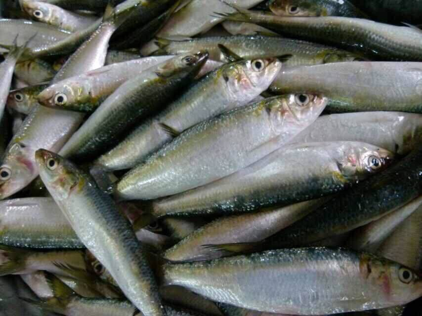 Frozen Sardines Fish